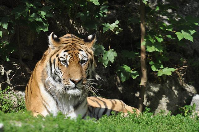 BESANCON: Un Tigre de Sibérie.