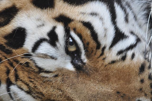 BESANCON: L'oeil du tigre de Sibérie.