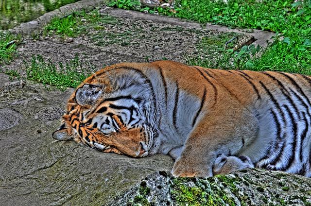 BESANCON: La Citadelle:  Un Tigre de Sibérie. (HDR)