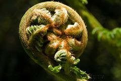 Unfolding Tree Fern Frond