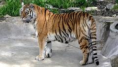 BESANCON: La Citadelle: Un tigre de Sibérie.