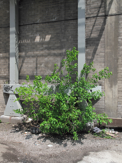 I promise a mulberry bush for every shadow cast by every fire escape!