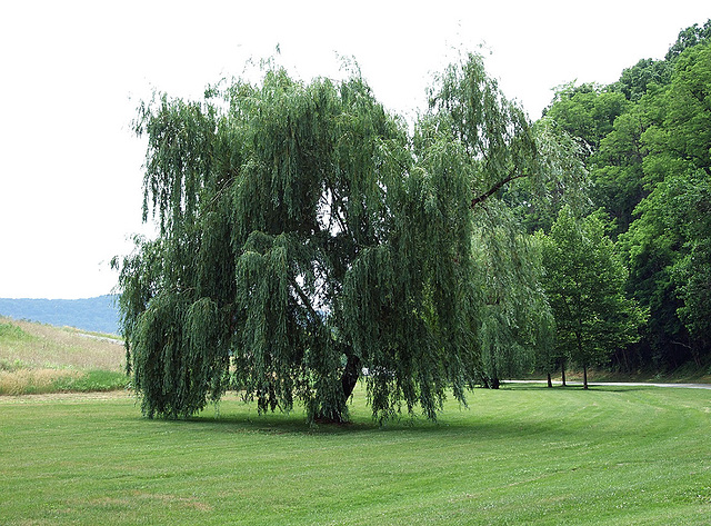 Tree in Croton Point Park, June 2007