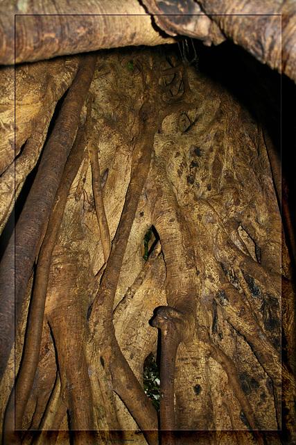 Predator - Inside The Host Tree Of A Strangler Fig