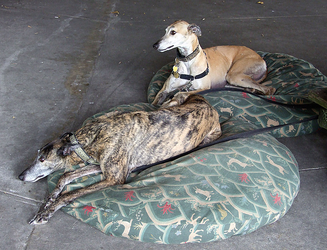 John and Rufina's Greyhounds at the Picnic on the Rhine Event, June 2007