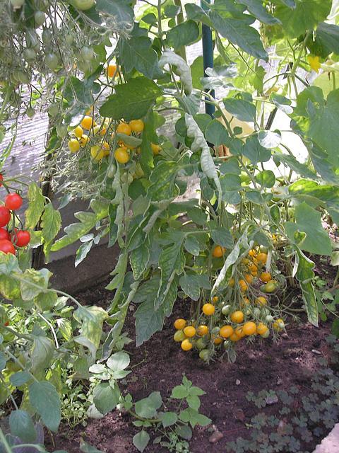 Flavaj tomatoj.