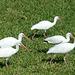 American White Ibis (1) - 24 January 2014
