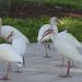American White Ibis (2) - 24 January 2014