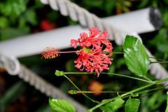NICE: Parc Phoenix: Un hibiscus.