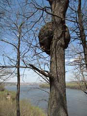 Big high burl of Mississippi River.