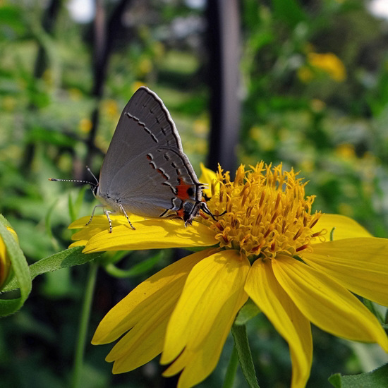 Grey Hairstreak Butterfly A first sighting here !