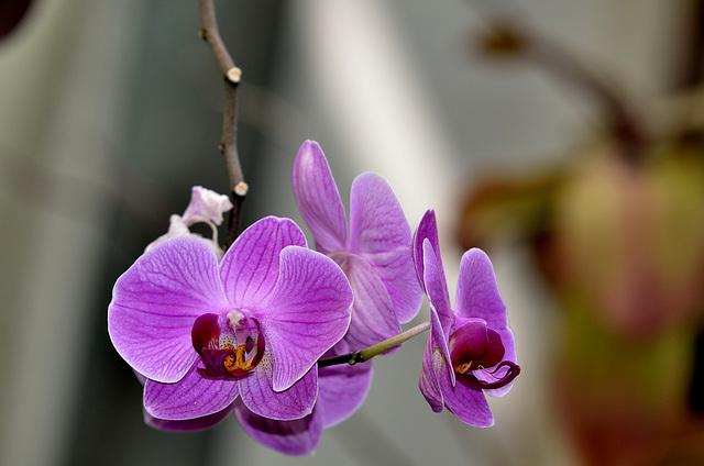 NICE: Parc Phoenix: Une Orchidée 01.