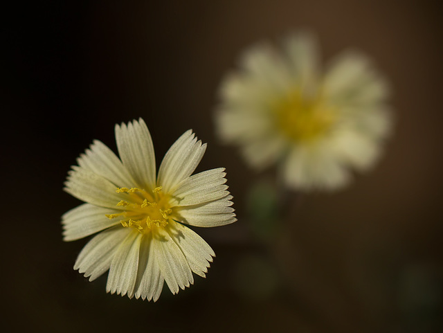 Hawkweed Flower with Bokeh Twin