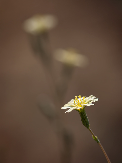 Hawkweed with Bokeh Flowers (roll over the picture for 2 more versions!)