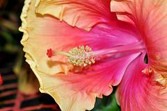 NICE: Parc Phoenix: Une fleur hibiscus.