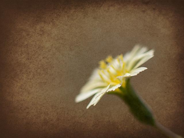 Textured Hawkweed Blossom