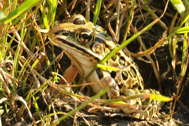 leopard frog CSC 5662