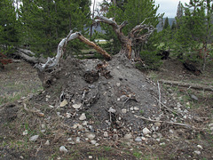 Upheaval of land when a tree falls over.