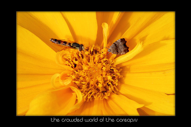 3 bugs and a coreopsis