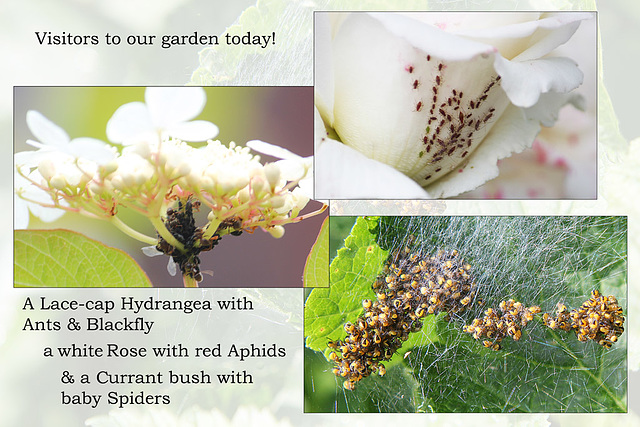 Aphids ants & baby spiders KW 18 6 2013
