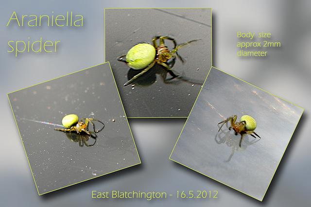 Araniella spider E Blatchington 16 5 2012