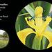 Azure Damselflies on Yellow Flag Bishopstone 12 5 2011