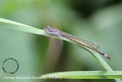 Blue-tailed Damselfly Female - East Blatchington Pond - 1.6.2012