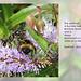 Bombus terrestris & Symmorphus crassicornis wasp Seaford 22 6 2011