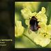Bombus terrestris E Blatchington 6 5 2012