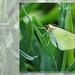Brimstone Moth - East Blatchington - 7.6.2013