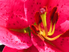 The lovely centre of the pink lily