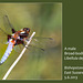 Broad-bodied Chaser dragonfly Bishopstone 5 6 2013