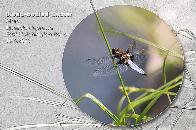 Broad-bodied Chaser dragonfly male - East Blatchington Pond - 19.6.2013