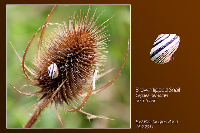 Brown lipped Snail  - East Blatchington Pond - 16.9.2011
