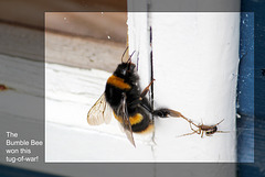 Bumble bee & spider 29 2 2012