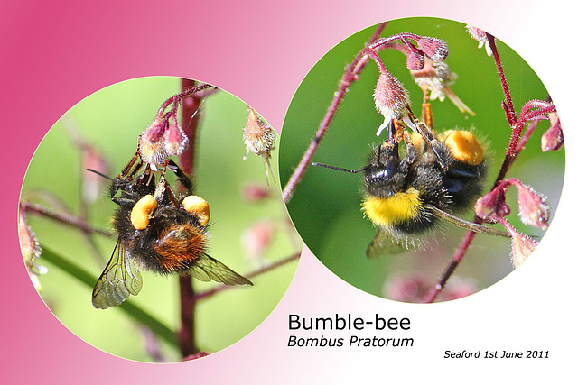Bumble bee Bombus pratorum on heuchera 1 6 2011