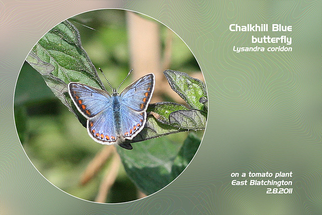 Chalkhill Blue E Blatchington 2 8 2011