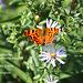 Comma butterfly E Blatchington 16 9 2011