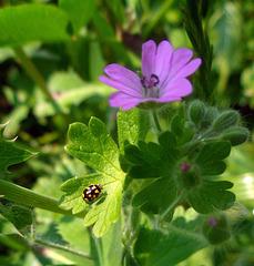 very little ladybird