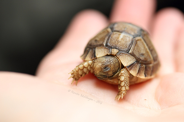Ägyptische Landschildkröte - ca. 1 Woche alt (Wilhelma)