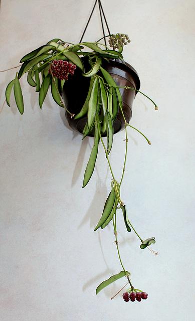 Hoya wayetii