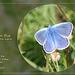 Common Blue Cuckmere 17 5 2011