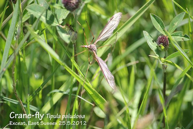 Crane-fly Tipula paludosa Exceat 25 5 2012