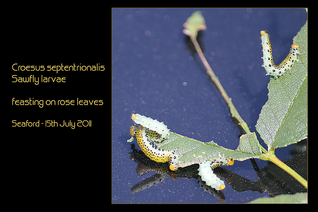 Croesus septentrionalis larvae on rose leaves 15 7 11