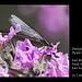 Damselfly on Purple Loosestrife - East Blatchington Pond - 22.7.2013