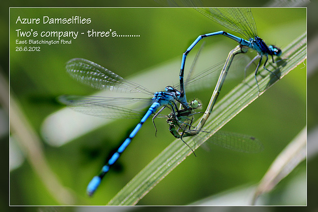 Damselfly threesome - 26.6.2012