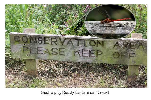 Darters can't read!  - East Blatchington Pond -