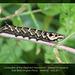 Elephant Hawkmoth caterpillar - East Blatchington Pond - 16.8.2011