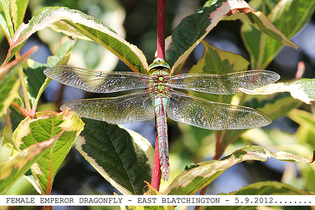 Emperor Dragonfly female E Blatchington 5 9 2012