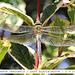 Emperor Dragonfly female E Blatchington 5 9 2012